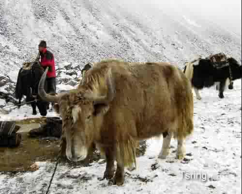 Tsing the Yak